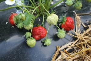 fraises prum