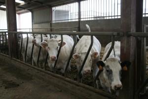 vaches delmotte
