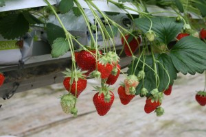 fraises patinier