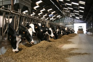 ferme smets vaches
