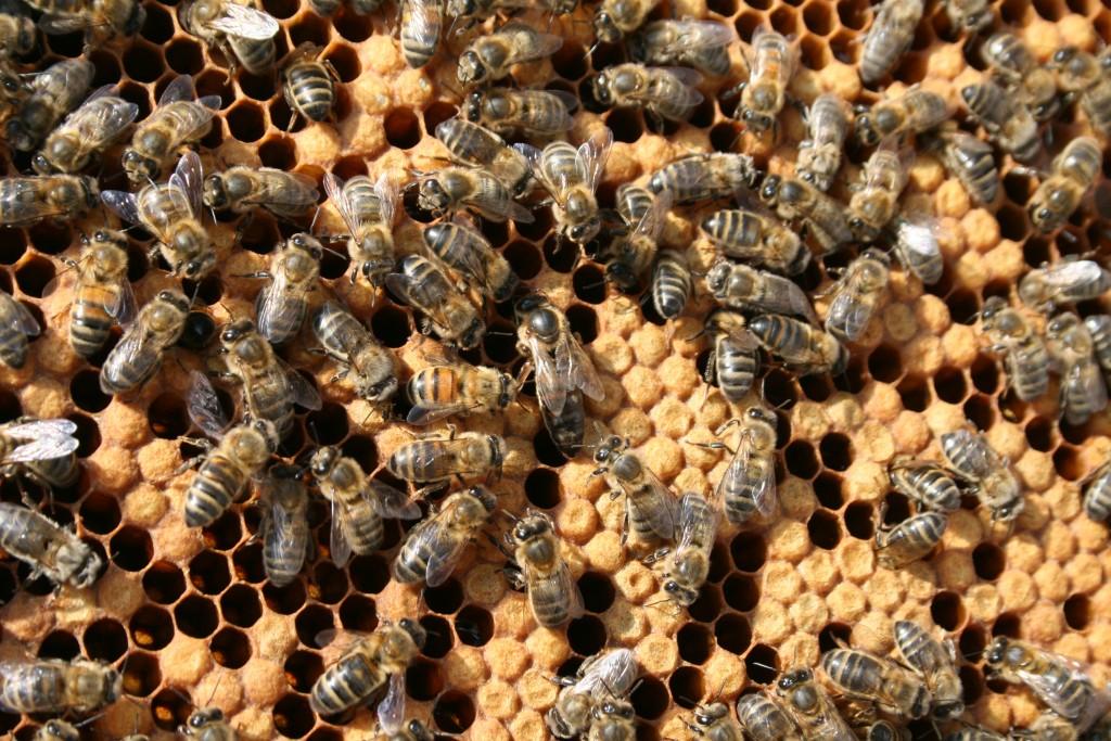 abeilles rucher de rubis