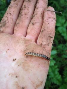 prédateur des limaces