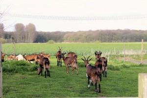 Les premières chèvres du Tannay